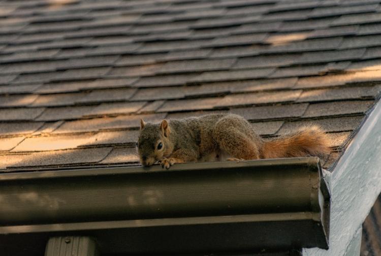 Squirrel Roof Damage